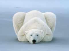 polar, медведь, national