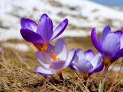 первоцвет, тв, цветы