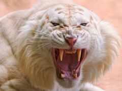 тигр, white, ухмылка