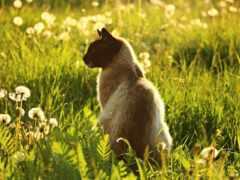 кот, summer, сиамский