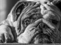 bulldog, собака, white
