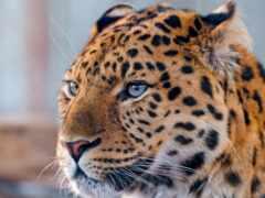 леопард, морда, погода