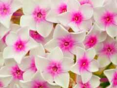 white, cvety, цветы