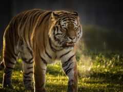 тигр, йоркширский, животные