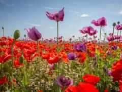 poppy, цветы, red