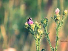 цветок, макро, шмель