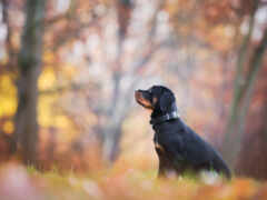 собака, rottweiler, щенок