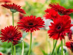 гербера, цветы, уход