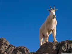 goat, male