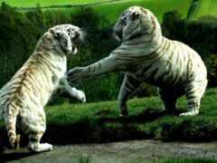 тигр, white, бой