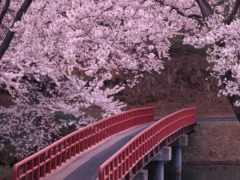 вышивки, garden, Сакура