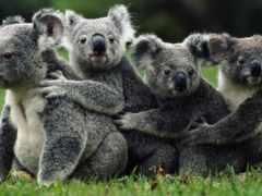 коалы, коала, семья