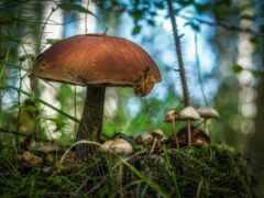 mushroom, edible, wild