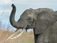 ствол, слон, слоны