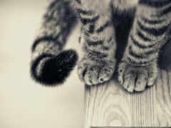 кот, коты, foot