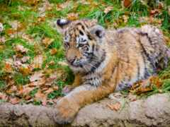 тигр, amur, осень