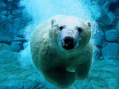 медведь, polar, zhivotnye