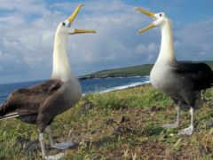 albatross, waved, albatros