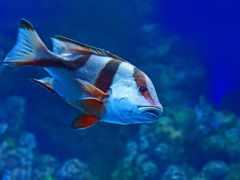 голубая рыба, красные полоски