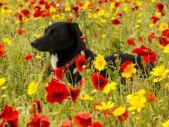 cvety, собака, маки