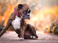 собака, boxer, порода