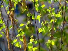 ветки, листья Фон № 32501 разрешение 1920x1200