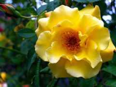 роза, floribunda