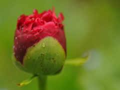 роза, free, flowers