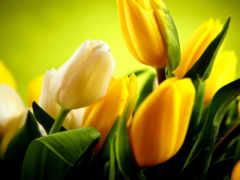 тюльпаны, желтые, белые