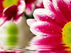 Розовая маргаритка Отражение на воде