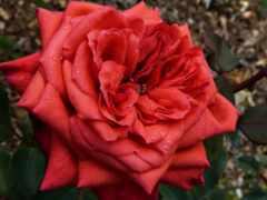 роза, цветы, добавить