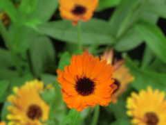 cvety, оранжевые