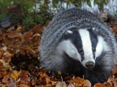 badger, спячку, зимой