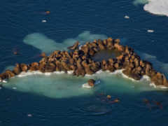 walrus, pinterest, marine