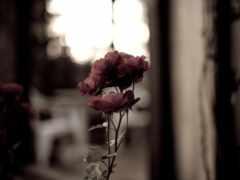 розы, лепестки, категории