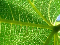 листь, лист, зелёный