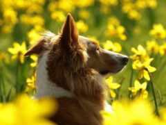 flore, собака, amarilla