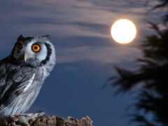 сова, ночь, oir