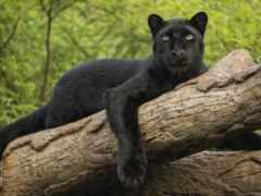 panther, взгляд, black