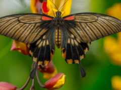 swallowtail, бабочка, племя