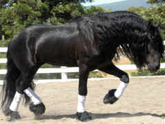 лошадь, фриз, лошади
