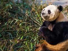 панда, медитация, бамбук