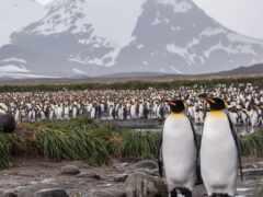 пингвин, pinguino, много