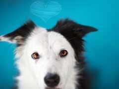 собака, овчарка, сердце
