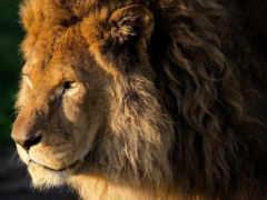 lion, zhivotnye, морда