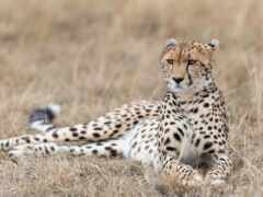 animal, гепард, ложь