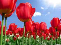 тюльпан, символы, тигр