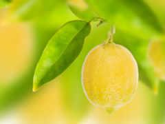 lemon, лимона, зооклубе