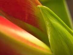 цветы, фото, роза