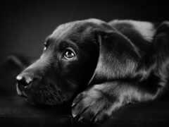 labrador, щенок, собака